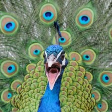 angry-peacock-300x300